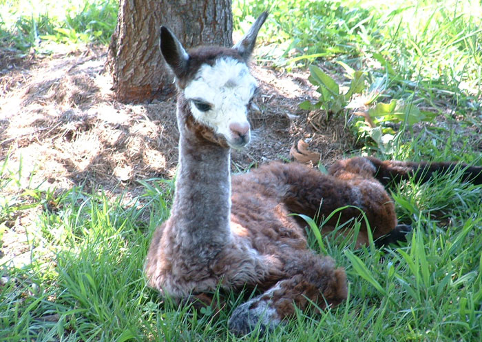 About Incamon Alpacas